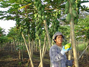 Hawaii papaya farmer holding papaya